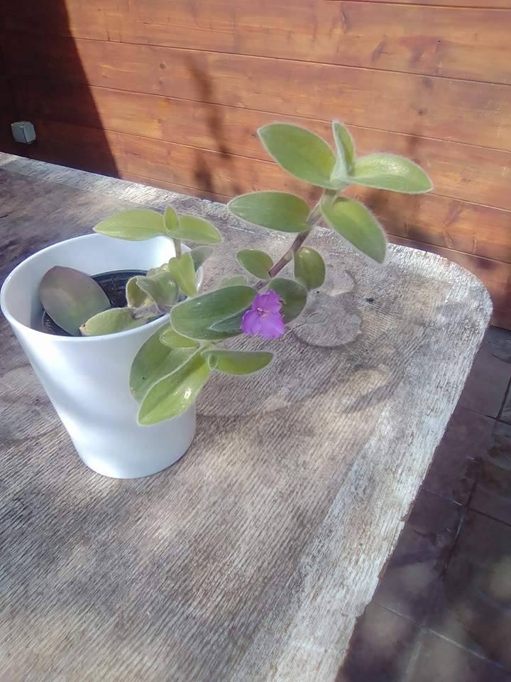 Identification plante à poils 18254310