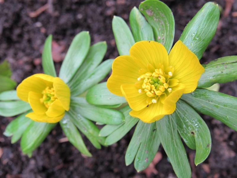 deux ou trois fleurs dans le vent - Page 4 Eranth12