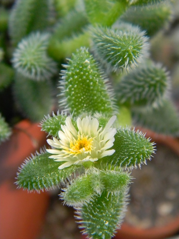 Delosperma echinatum Pico110