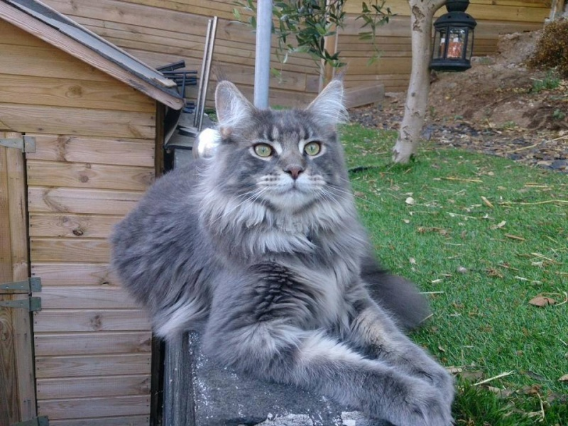 Perdu Chat Maine Coon  14534610