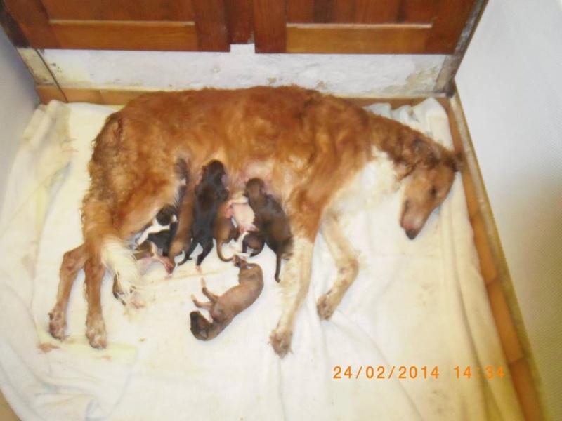 Naissances de bébés Barzoi. 19117310