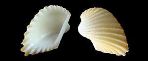 Les Arcidae - Lamarck, 1809 Arcida10
