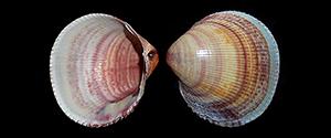 Les Cardiidae - Lamarck, 1809 Cardii10