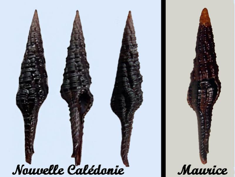 Espèce non décrite de  Dolicholatirus ? de Nouvelle Calédonie et de La Réunion ...  Dolich10
