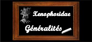 Les Xenophoridae - Troschel, 1852 (1840) Gynyra10