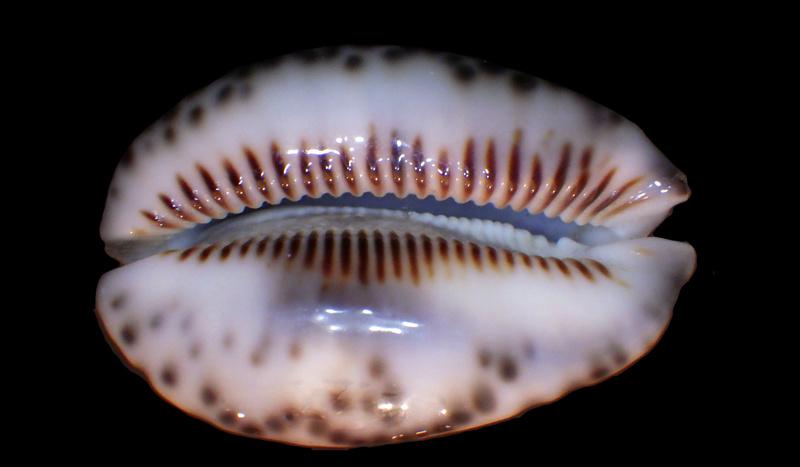 Mauritia maculifera scindata - Lorenz, 2002 - Polynésie Française - Page 2 Rimg3111