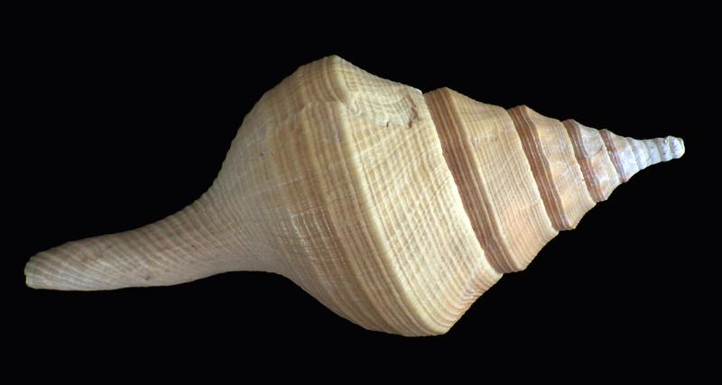 Syrinx aruanus - (Linnaeus, 1758) Rimg3119