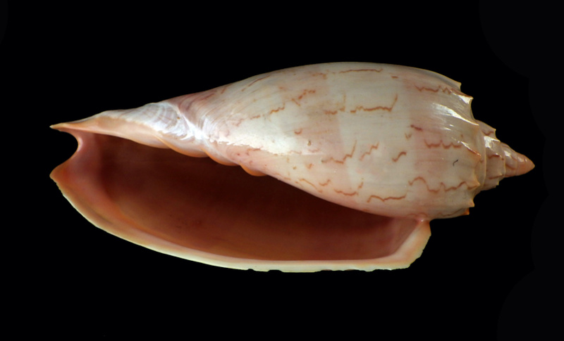 Amoria hunteri - (Iredale, 1931) Rimg3138