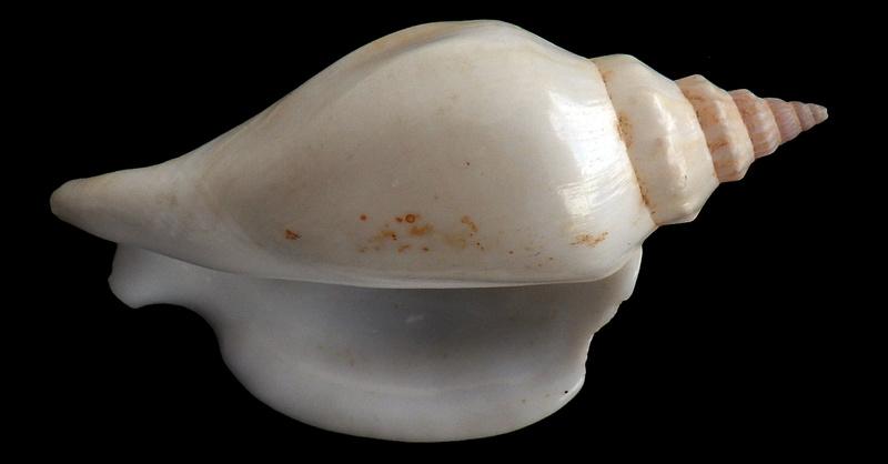 Strombidae Labiostrombus epidromis - (Linnaeus, 1758) Rimg3330