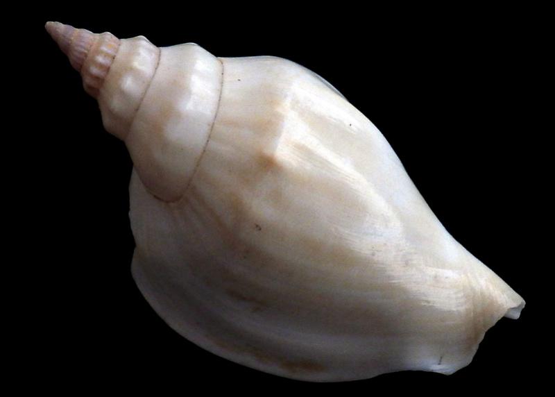 Strombidae Labiostrombus epidromis - (Linnaeus, 1758) Rimg3332