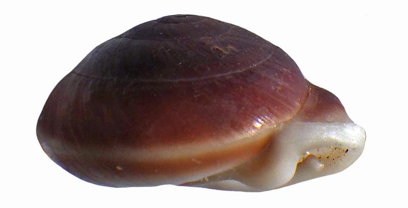 Pleurodonte guadeloupensis roseolabrum (M. Smith, 1911) & Pleurodonte hyppocastanum (Lamarck, 1822) à confirmer Rimg3550