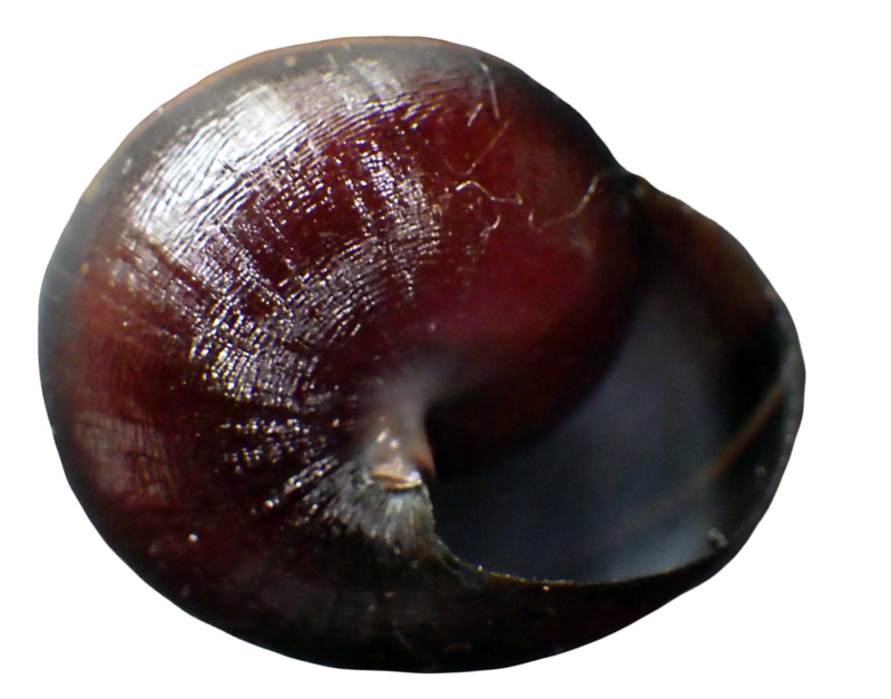 Pleurodonte guadeloupensis roseolabrum (M. Smith, 1911) & Pleurodonte hyppocastanum (Lamarck, 1822) à confirmer Rimg3551