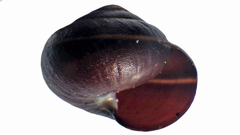 Pleurodonte guadeloupensis roseolabrum (M. Smith, 1911) & Pleurodonte hyppocastanum (Lamarck, 1822) à confirmer Rimg3553