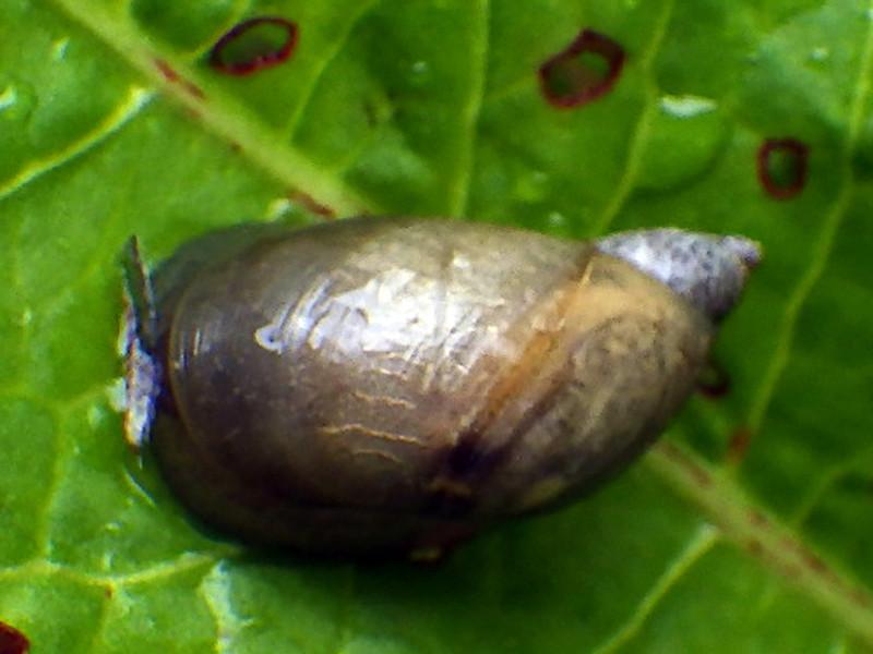 Succinea putris ou Oxyloma elegans ? Rimg4146