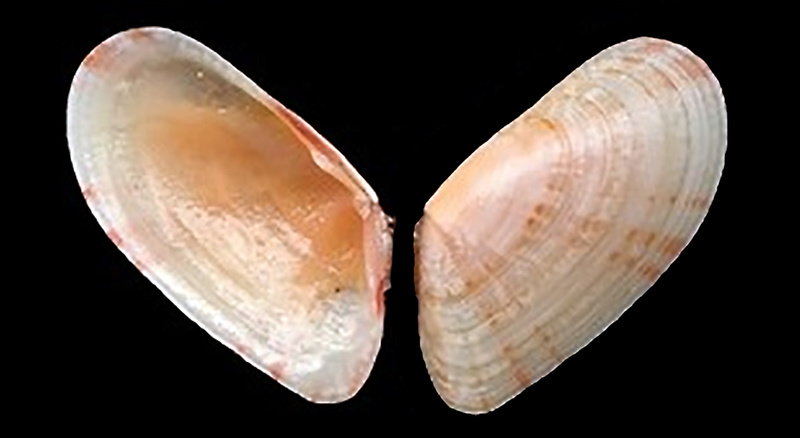 Moerella donacina - (Linnaeus, 1758)  Tellin10
