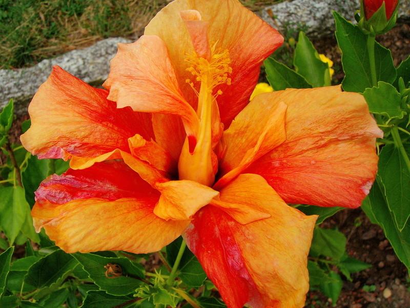 Hibiscus - alle Arten, Zuchtformen ... Erfahrungsberichte, Aussaat und selbstverständlich Bilder :) - Seite 9 _longh10