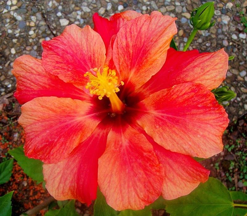 Hibiscus - alle Arten, Zuchtformen ... Erfahrungsberichte, Aussaat und selbstverständlich Bilder :) - Seite 9 _orang10