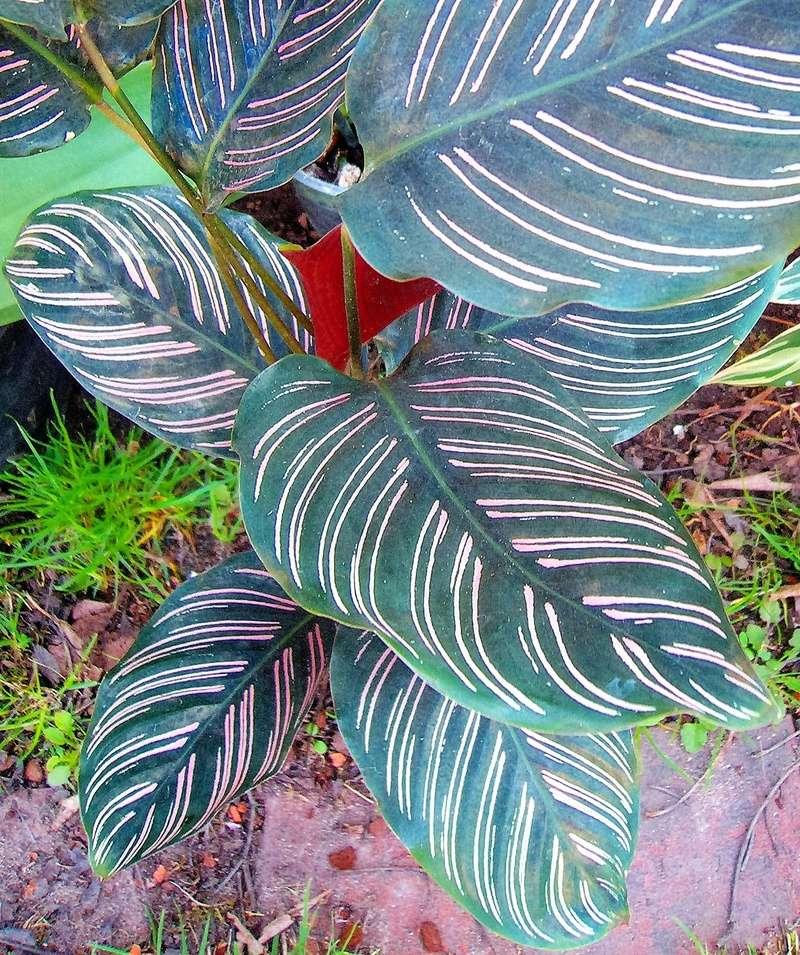 Pfeilwurzgewächse (Marantaceae) Calath10