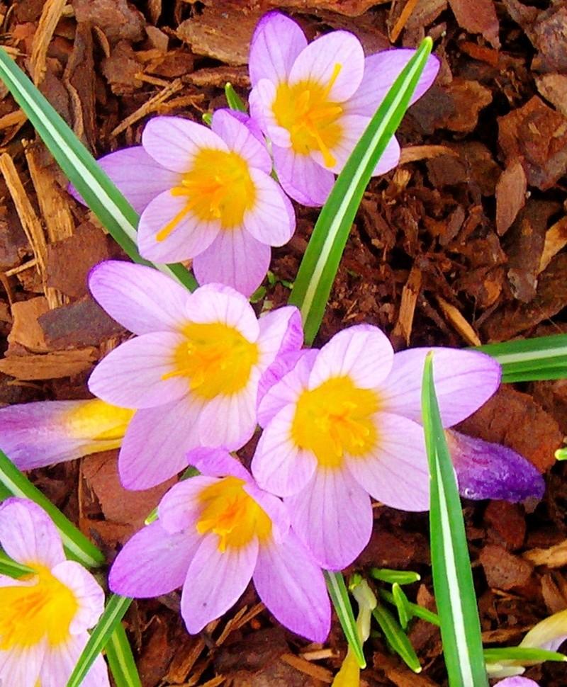 Erste Frühlingsboten im Garten und in Wald und Flur - Seite 48 Crocus11