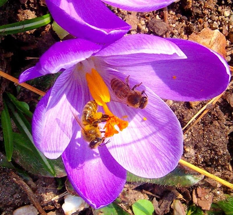 Erste Frühlingsboten im Garten und in Wald und Flur - Seite 48 Crocus12