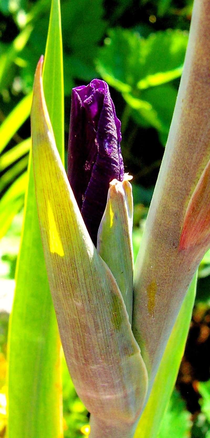 Schwertliliengewächse: Iris, Tigrida, Ixia, Sparaxis, Crocus, Freesia, Montbretie u.v.m. - Seite 16 Iris_b10
