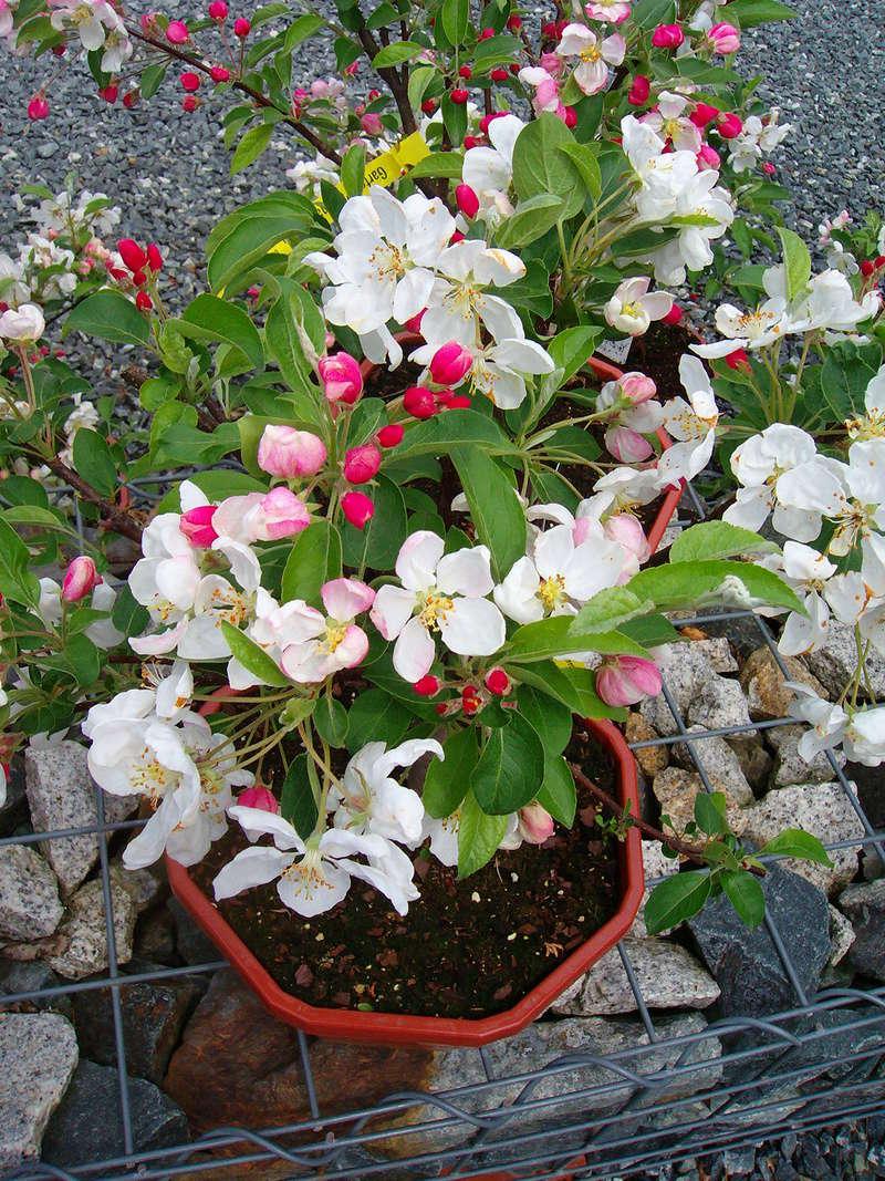 Was für Obstsorten habt Ihr denn im Garten? Aussaat, Spalier, Beerensträucher, Erfahrung und Hilfe :) - Seite 13 Malus_10