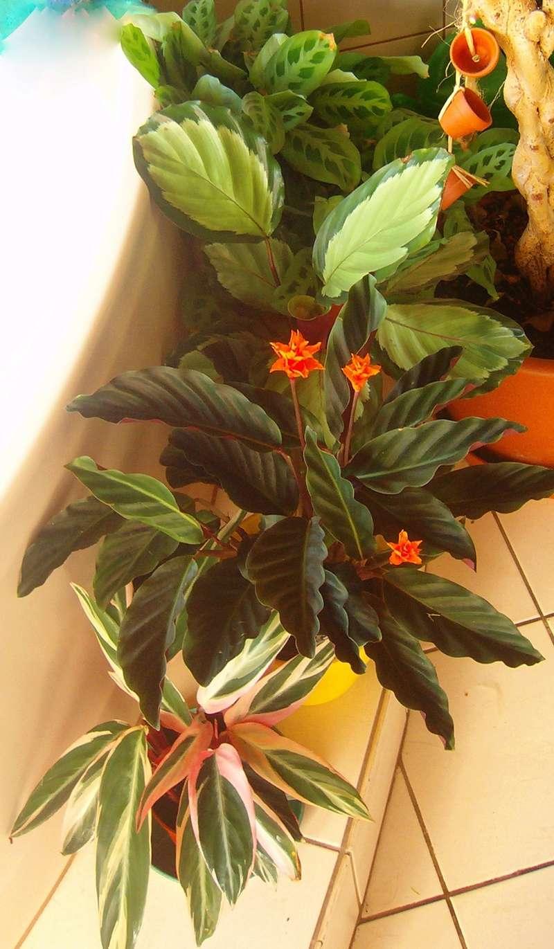Pfeilwurzgewächse (Marantaceae) Pfeilw10