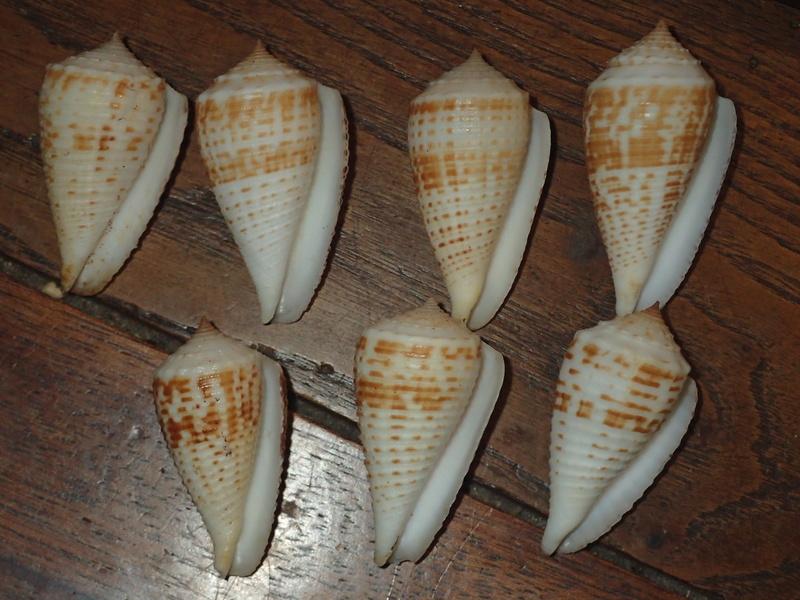 Conus (Asprella) rolani (Röckel, 1986) P3290915