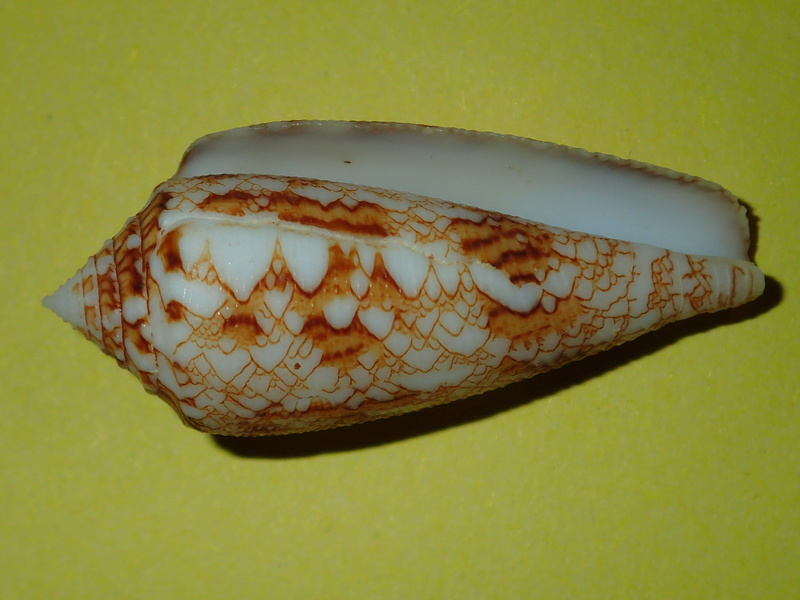 Conus (Cylinder) telatus   Reeve, 1848 P3290917
