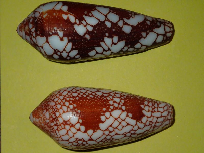 Conus (Darioconus) magnificus   Reeve, 1843 - Page 5 P3290921