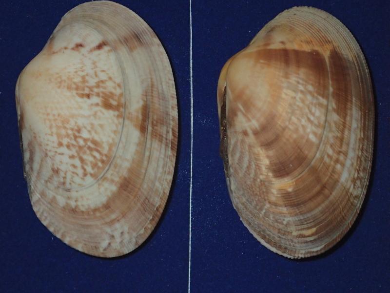 Ruditapes decussatus - (Linnaeus, 1758) P5051010