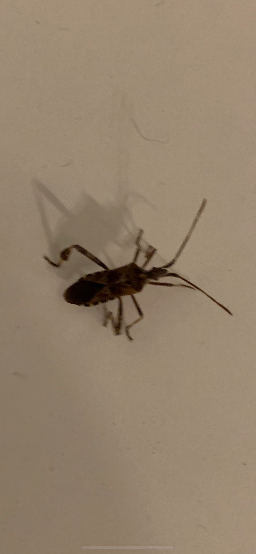 [Leptoglossus occidentalis] Recherche nom d insecte  15ad5910