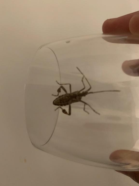 [Leptoglossus occidentalis] Recherche nom d insecte  F4604810