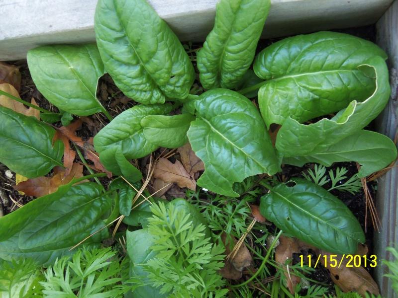 Spinach! Lettuce!  Garlic! 100_0714