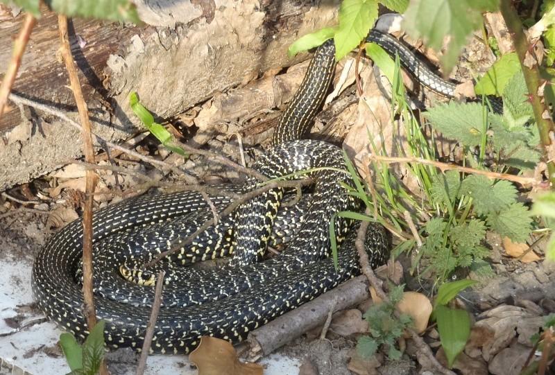 Les Serpent, comment les reconnaître ? Réponse P4011110