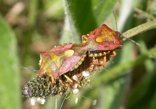 [Carpocoris purpureipennis] Dolycoris baccarum Acc_do10