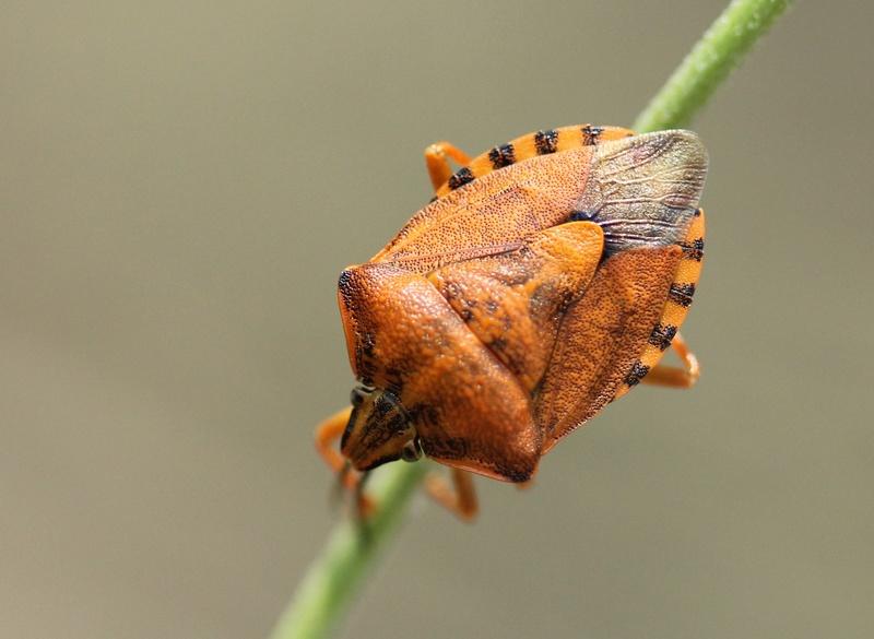 [Carpocoris pudicus_HORS BZH] Carpocoris pudicus ? Carpoc10