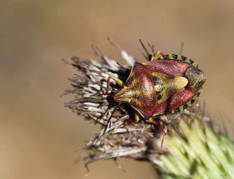 [Carpocoris purpureipennis] pentatomidae 2 Img_0110