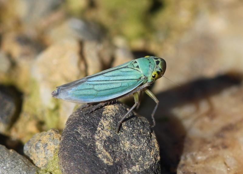 [Cicadella viridis] Img_0111