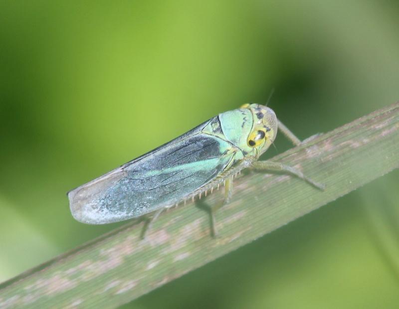 [Cicadella viridis] Img_0210