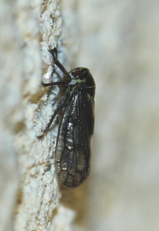 [Oncopsis sp.] Petit homoptère de nuit Img_0816
