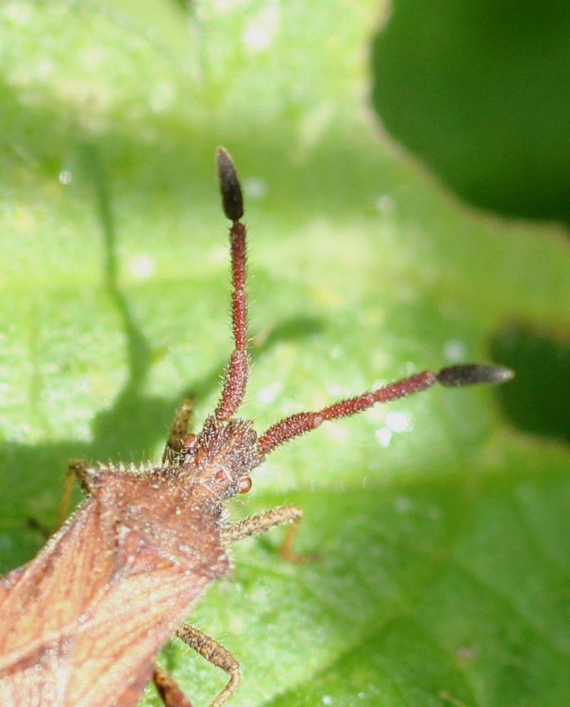 [Coriomeris sp.] Bothrostethus annulipes ? Img_0914