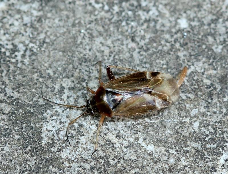 [Harpocera thoracica] Une autre nocturne Img_1112