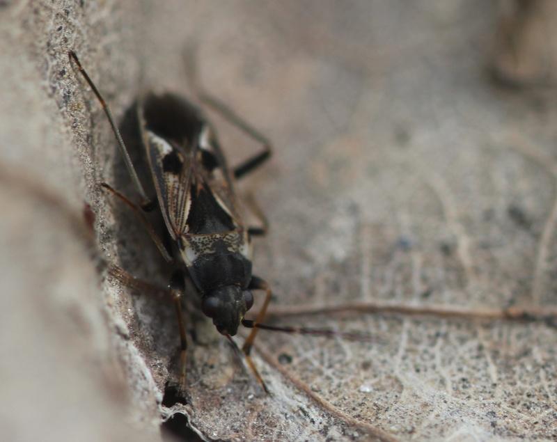 [Rhyparochromus vulgaris] autre miridae Img_1211