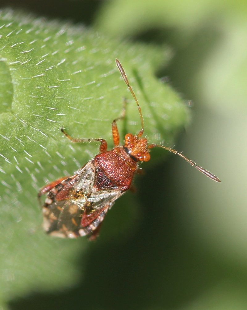 [Rhopalus subrufus] antennes velues Img_1312