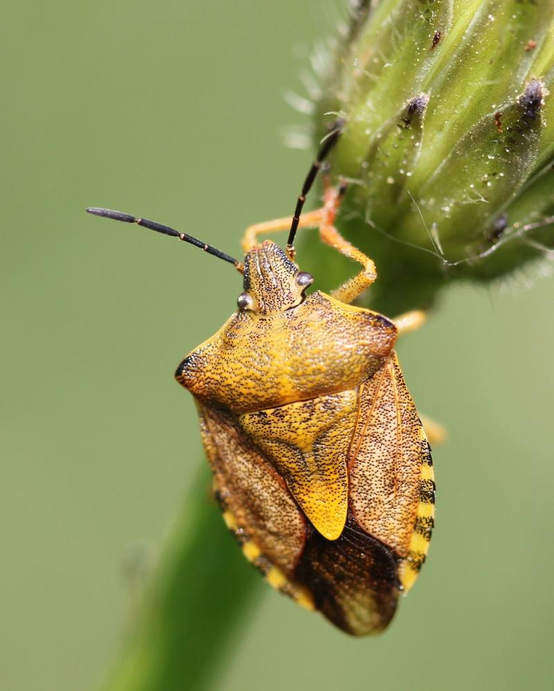 [Carpocoris purpureipennis] pentatomidae ? Img_2110