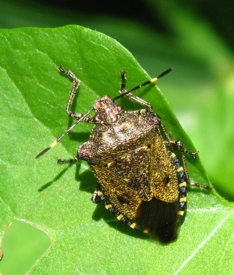 [Troilus luridus] Pentatomidae 3 Img_2111