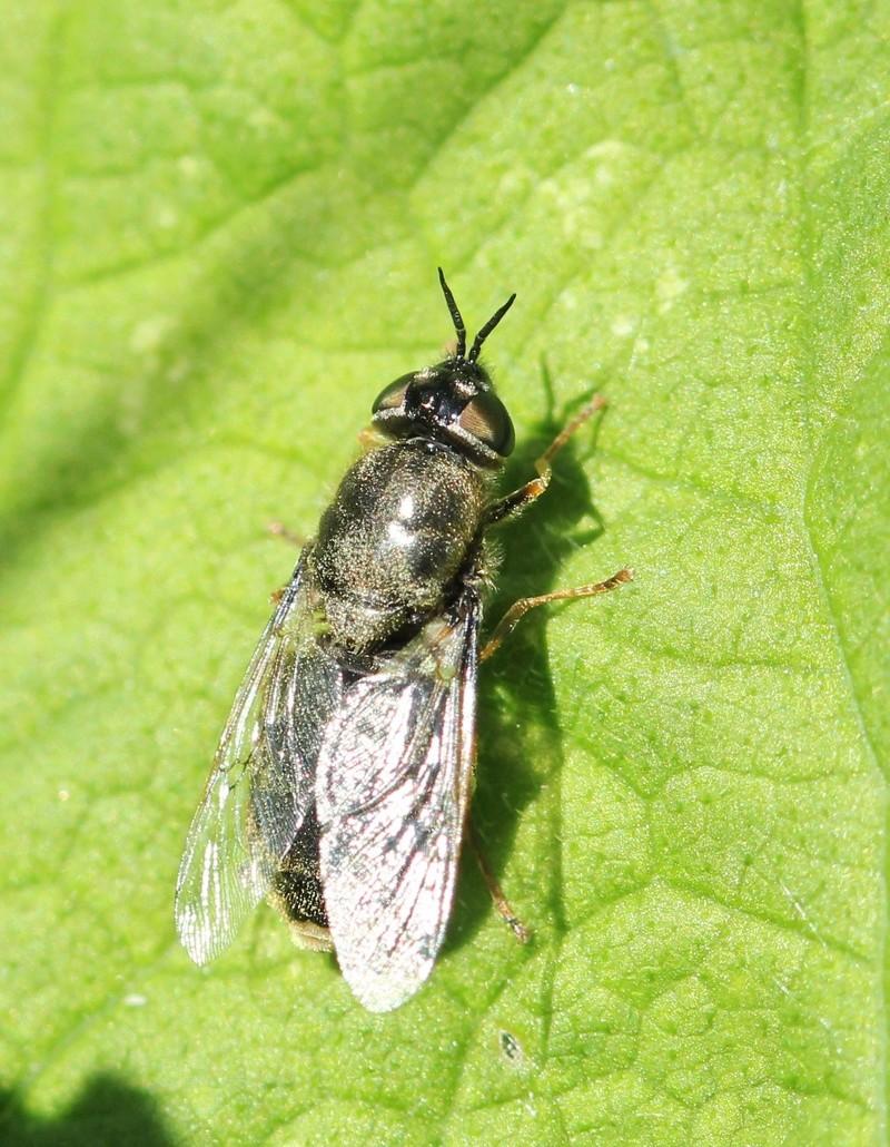 [Odontomyia tigrina] une inconnue Img_2511