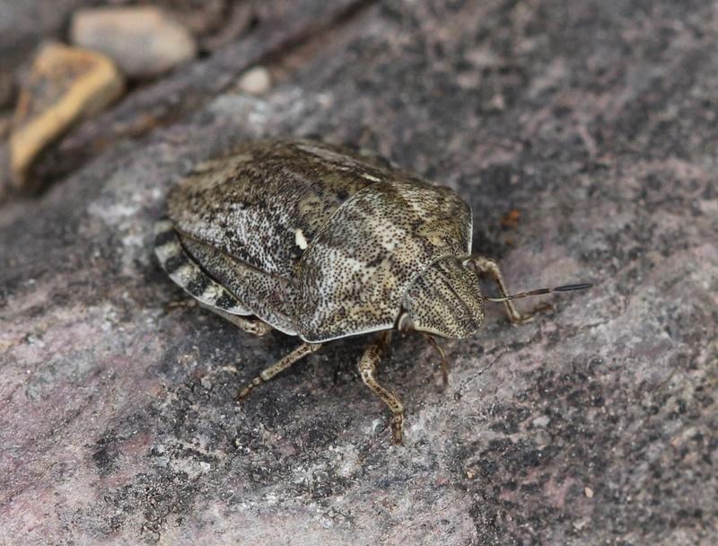 [Eurygaster sp.] pâlichonne Img_3111