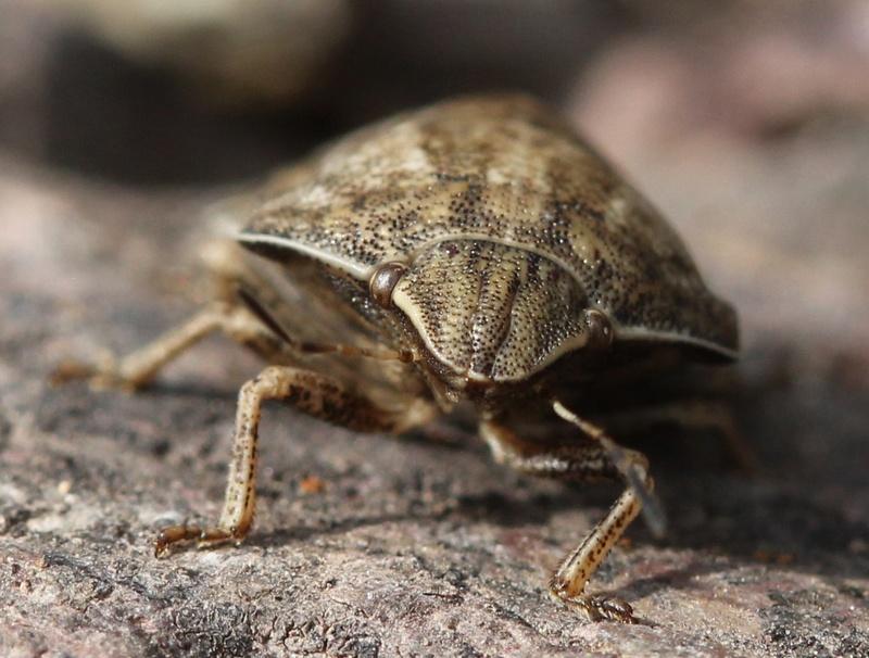 [Eurygaster sp.] pâlichonne Img_3112
